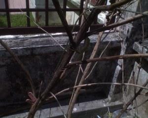Mengkarung ini mengharap untuk menyamar di pokok yang reput