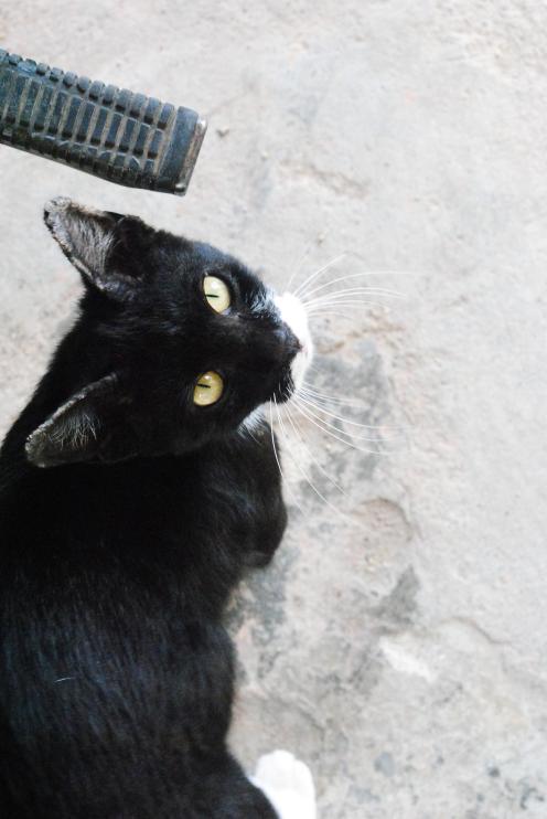 Selain dari degil.. si hitam manis ini amat agresif.. pastikan kulit anda tebal.. jika nipis.. jangan di ajak kucing ini bergurau.. risau kulit nipis itu ditembusi kuku si hitam manis ni.. bisa oooo